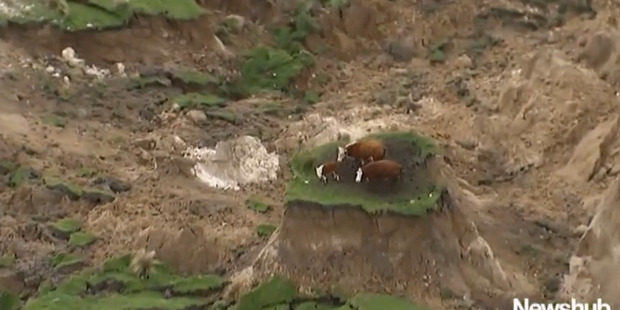 Loading The video footage from Newshub shows two adult cattle and a calf stranded on the small island of grass amidst chaos, after the 12.02am 7.5 magnitude earthquake. Photo / Newshub