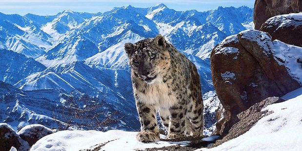 Loading The Snow Leopards became the accidental stars of Planet Earth II for all the wrong reasons. Photo / BBC