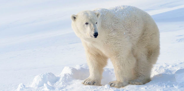 Bears don't get old doing stupid stuff says Tom Smith, a wildlife biologist. Photo / 123rf
