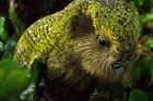 Critically endangered Kakapo are on the rise after an historic breeding season for the native parrot. Photo / Department of Conservation
