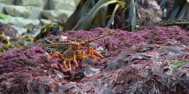 A crayfish on a rock lifted above sea level by the 7.8 quake. Photo / Supplied