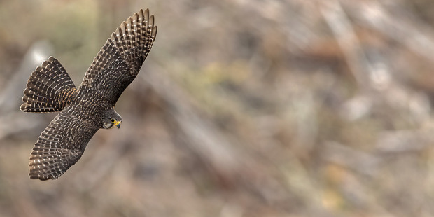The photo of this adult male New Zealand falcon was taken by photographer Kurien 'Koshy' Yohannan in the forests of Kaingaroa. PHOTOS/SUPPLIED