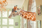 Cari Hill, New Zealand, captured this Rothschild's giraffe stopping in for a treat at Giraffe Manor in Nairobi, Kenya.