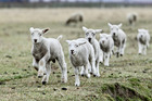 There are smaller and fewer lambs in the Bay this season due partly to cooler weather.