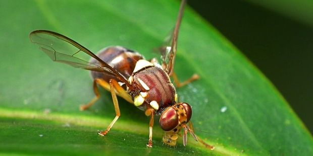 The Queensland fruit fly is regarded as one of the worst horticultural pests in the world. Photo / Supplied