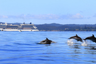 This picture of dolphins leaping in the Bay of Islands was taken on Thursday with the cruise ship Celebrity Solstice and the Waitangi Treaty Grounds in the distance. PHOTO/STEPHEN WESTERN