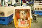 Max, a rescue dog from Colombia needed a little help getting to his new home. Photo / Brian Branch Price