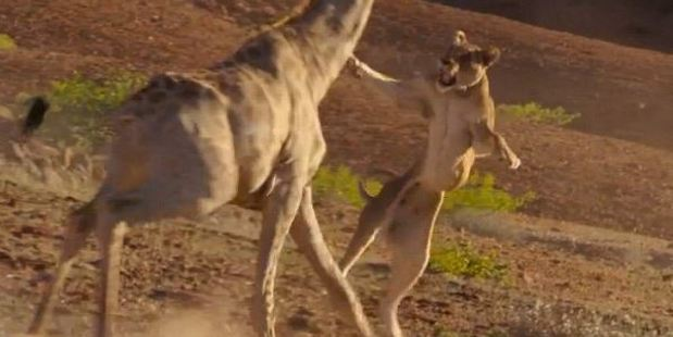 Loading lioness leaps into action during a hunt in the NamibRand desert. Photo / BBC