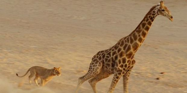 As the pride chased the giraffe across the river bed it seemed inevitable that they would catch their prey. Photo / BBC