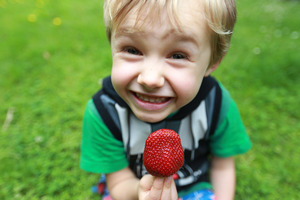Sam Sherring enjoys a berrylicious strawberry from a bumper crop this year. Photo / Doug Sherring