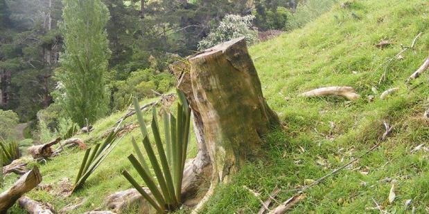 This Whiteywood (Melicitus ramiflorus) tree stump is the remains of a tree that was cut down a few years ago because it was close to overhead lines. The steep slope below the stump has started to slip away. Mr Butcher has recently planted the Flaxes (visible in picture) to try and stop a major slip occurring.