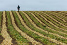 Pukekohe is known for its 'long-keeper' onion, which thrives in fertile volcanic soils. Photo / Brett Phibbs