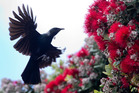 A tui eats nectar from one of the first pohutukawa flowers of the year. Photo / Alan Gibson.