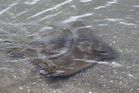 Niwa says the toxin from the stingray's barb becomes unstable at high temperatures. Photo / File