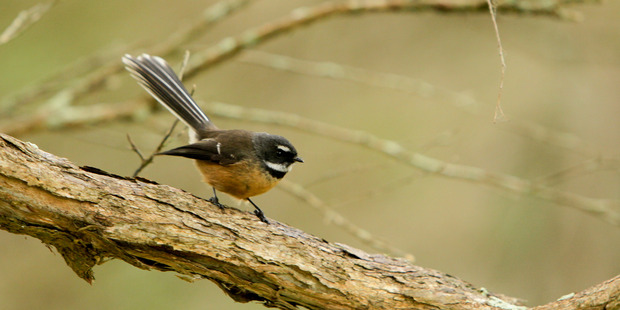 How tragic would it be if we could only experience piwakawaka (fantails) as stuffed specimens in museums? Photo / Warren Buckland