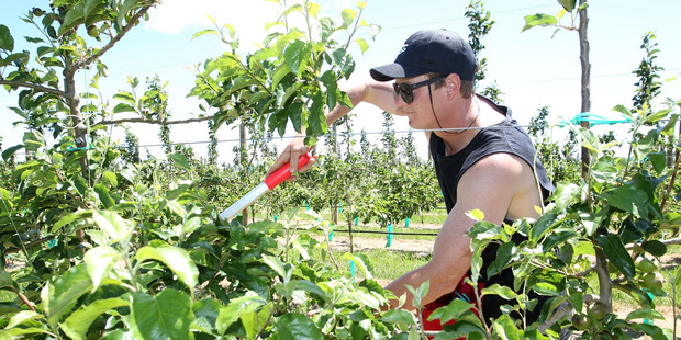 Joshua Rowe, Turners and Growers orchard worker, pruning young trees on an orchard near Haumoana. Photo / Duncan Brown.