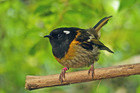 SURVIVOR: Hihi, or stitchbirds, have been translocated to Bushy Park just outside Whanganui.