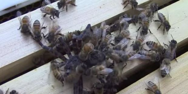 Loading A bees v spider video has gone viral. Photo / Youtube / Fast Bees