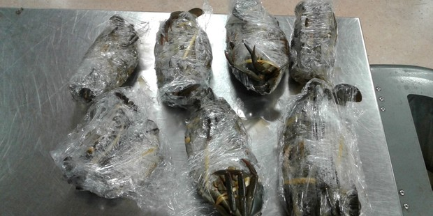 MPI staff found the individually wrapped crabs were still alive. Photo / Supplied