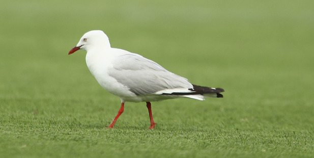Loading A seagull stopped play during the FFA Cup final. Photo / Getty
