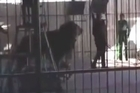 Source: LiveLeak. Shocking footage has emerged showing the moment a circus trainer was mauled by a lion during a live show in Egypt, leaving him with fatal injuries.