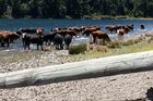 Cattle from Lakes Station wading and drinking from Lake Taylor in Canterbury.