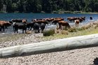 Cattle owned by Chief Justice Sian Elias and businessman Hugh Fletcher wading in Canterbury's Lake Taylor have sparked outrage.