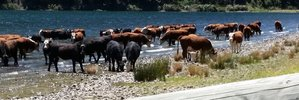 Cattle breach escapes penalty