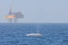 GIGANTIC: A blue whale surfaces near an oil rig in the South Taranaki Bight.PHOTO/DEANNA ELVINES