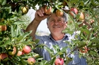 Billy Scott, from SSF Orchards, Havelock North, checks the colour of early Royal Gala apples. Photo / Warren Buckland
