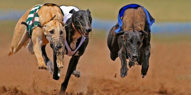 You can adopt an ex-racing dog after its career - though taking it for walks could be a challenge, especially if it sees a hare.