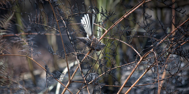 A fantail has lost its home thanks to the fire. Photo / Andrew Warner