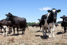 ANZ said the rain could bring with it an unwelcome increase in dairy production at a time when the world is still suffering from oversupply.