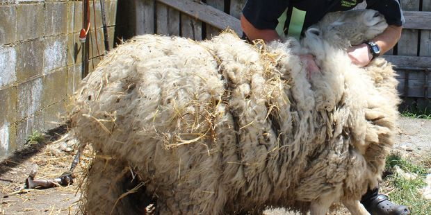 Woolly task: Dannevirke's Izacc Appleton about to give rescued ram Woolson his first hair cut. Photo / Christine McKay