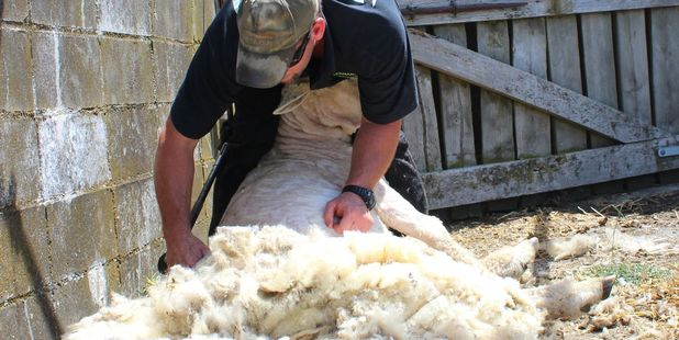 Back-breaking: Izaac Appleton relieves Woolson of years of wool. Photo / Christine McKay