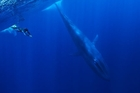 INTO THE BLUE: A diver with a pygmy blue whale.