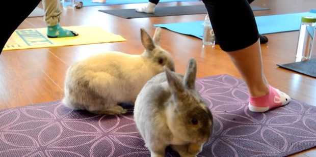 It's hoped some yoga-goers will want to take a bunny home. Photo / YouTube, Sunberry Fitness