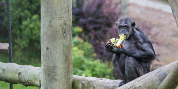Hamilton Zoo chimpanzee Sanda is having a baby next month. Photo: Tara Sutherland