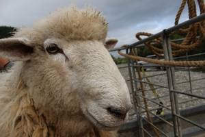 Woolson, the rescued ram on the trailer set for a journey to Dannevirke, a vet check and a shear.