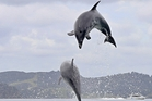 ACROBATICS: Dolphins frolicking among boats and swimmers off Motuarohia/Roberton Island. PICTURES/STEPHEN WESTERN
