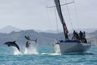 Dolphins take to the air as they swim past the keeler Georgia during a previous Bay of Islands Sailing Week regatta. Photo / Will Calver Ocean Photography