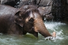 Auckland Zoo's elephant Burma as she cools off in her elephant enclosure, during the hot summer weather which has hit, Auckland.   26  January  2016    New Zealand Herald photograph by Brett Phibbs