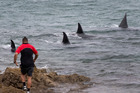 A man gets a close-up view of a pod of four orcas as they hunt close to the shore in Evans Bay, Wellington. Photo / Mark Mitchell