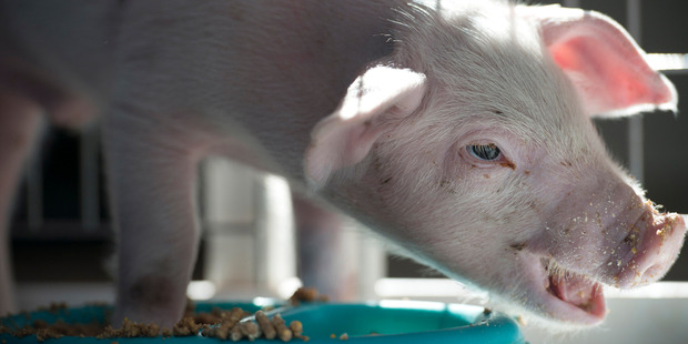 Wee Wee, about two weeks old, lived on an industrial farm before he was found alongside a snow-covered road. Washington Post photo by Linda Davidson