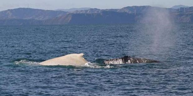 Migaloo and a black humpback whale in Cook Strait in July last year. Photo / Twitter