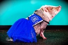 Lilou the pig is the first non-canine member of the airport's Wag Brigade. Photo / San Francisco International Airport