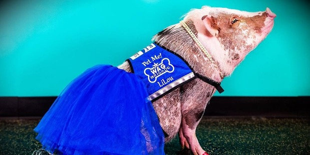 Therapy pig roams San Francisco airport, greets travelers
