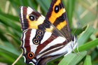 The endangered forest ringlet butterly. Photo / Michael Reid