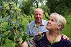 John and Anne Summerhays check the budding stage of production at their Otamatea Olive Grove in Westmere. Photo / Stuart Munro