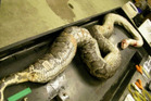 The huge snake just before it is cut open by researchers to determine what is inside. Photo / Scott Bobase